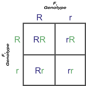 F1 Cross of the Rr Genotype