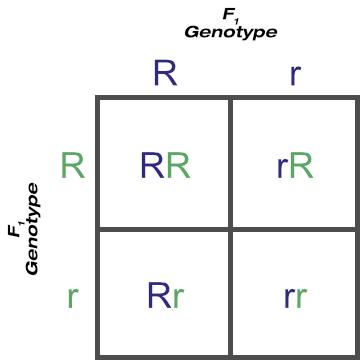 F1 Cross of the Rr Genotype