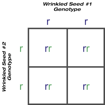 Purebred Wrinkled Seed Shape Crossed With Purebred Wrinkled Seed Shape