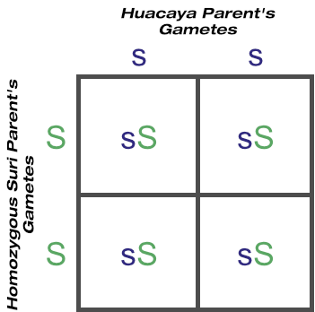 F1 outcome of crossing huacaya with homozygous suri