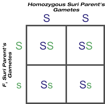 BC1 outcome of backcrossing F1 generation to homozygous suri