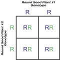 Purebred Round Seed Shape Crossed With Purebred Round Seed Shape