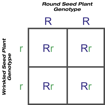 Purebred Round Seed Shape Crossed With Purebred Wrinkled Seed Shape