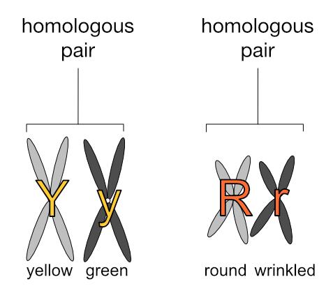 Homologous pea chromosomes