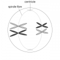 Metaphase 1 stage of meiosis