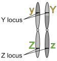 Linked loci after crossover on homologous chromosomes