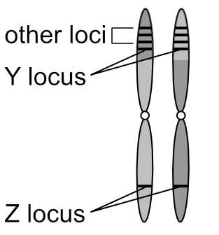 Multiple linked loci on homologous chromosomes