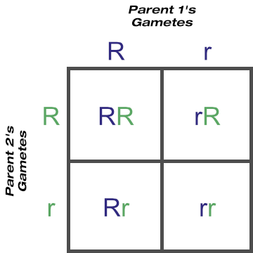 Punnett Square Showing Possible Gametes and Genotypes From One Locus (Two Heterozygous Parents)