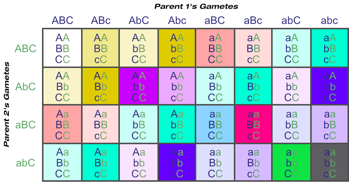Punnett Square Showing Possible Gametes and Genotypes From Three Loci (One Heterozygous Parent)