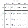 Punnett Square With Two Traits