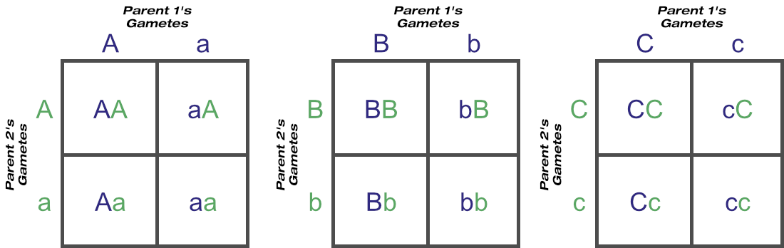 Three-locus Punnett square expressed as three one-locus squares, with all possible gametes and genotypes