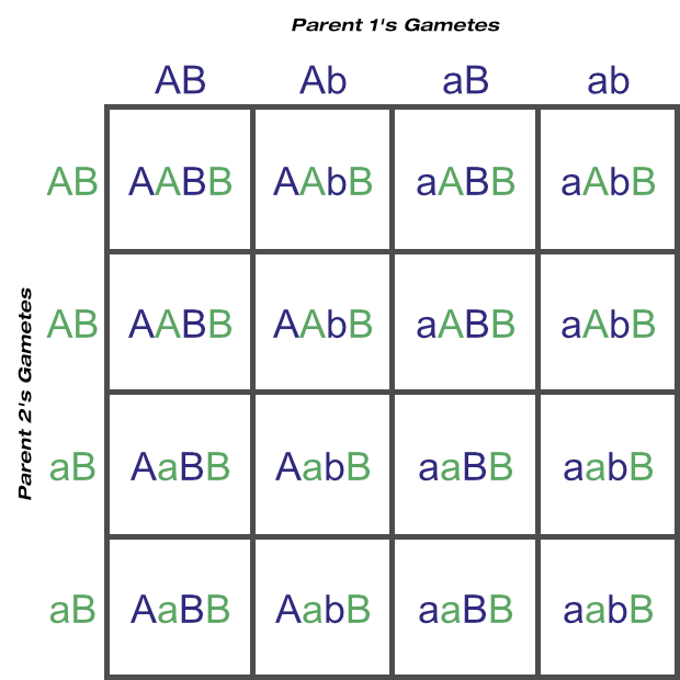 Punnett Square Showing Possible Gametes and Genotypes From Two Loci (One Heterozygous Parent)