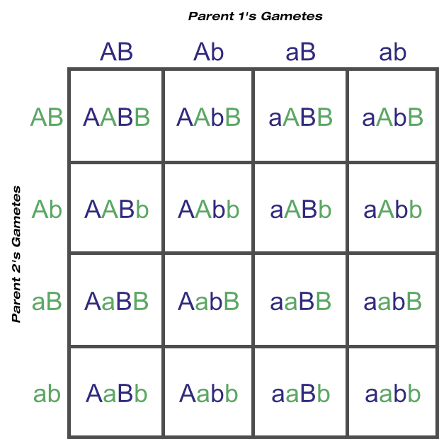 Punnett Square Showing Possible Gametes and Genotypes From Two Loci (Two Heterozygous Parents)