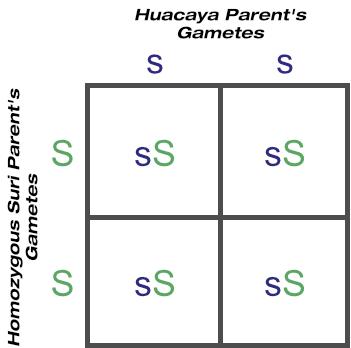 F1 outcome of crossing huacaya with homozygous suri