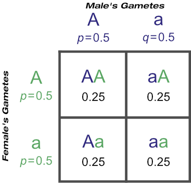 The Probability of Certain Genotypes With 'Aa' Male and Daughters of 'Aa' Dams